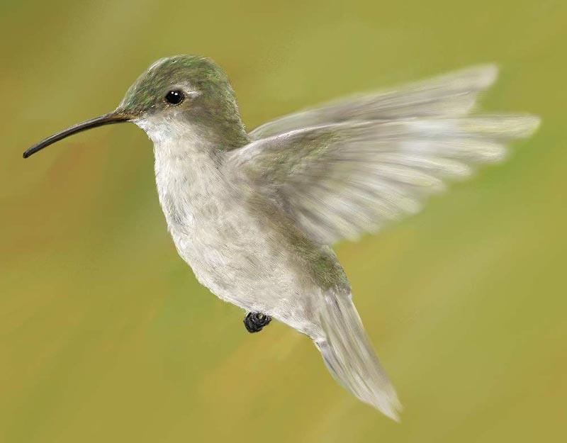 Laney Reed Kolibri